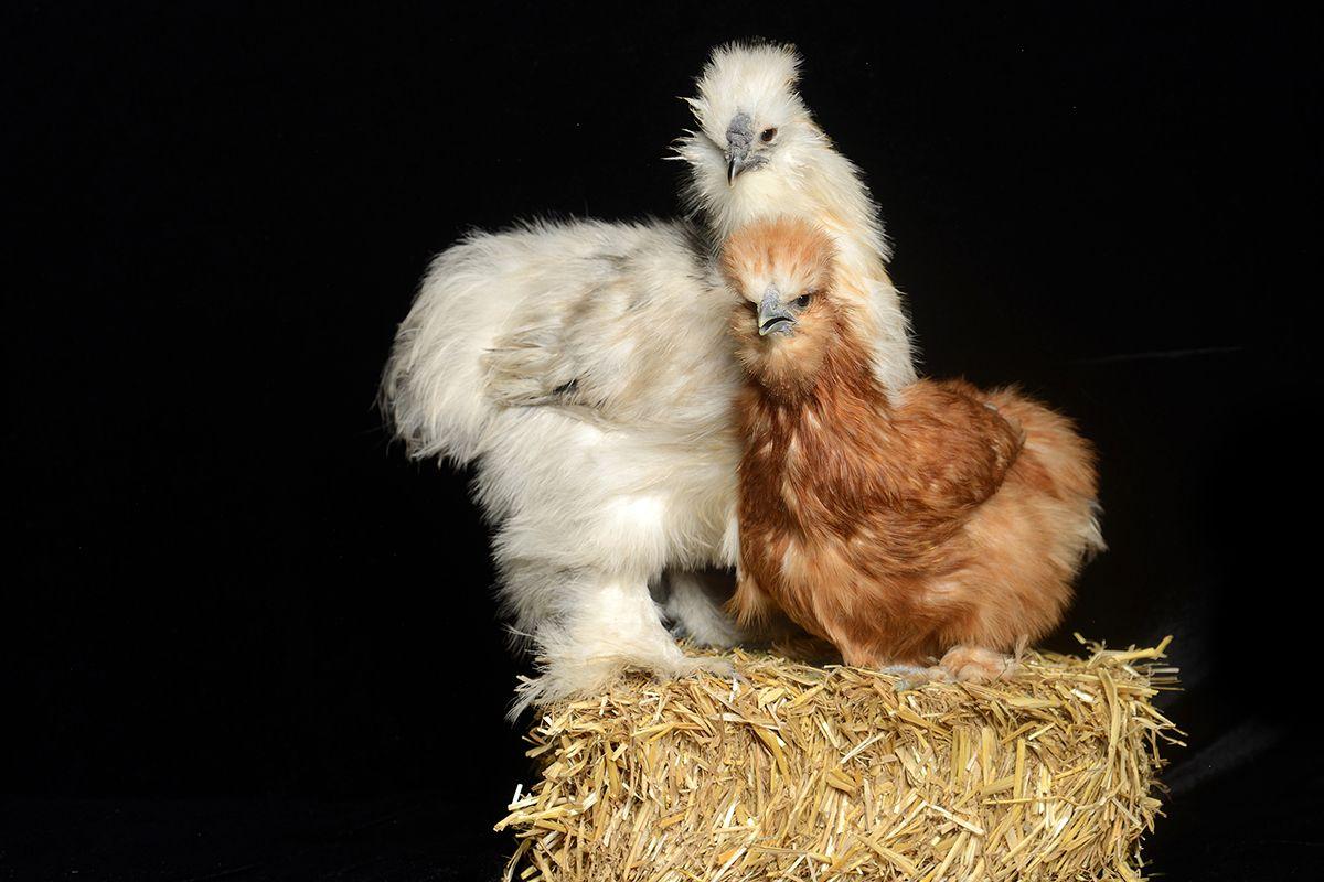 Rette Dein Huhn
